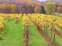MountainRose Vineyard in the fall