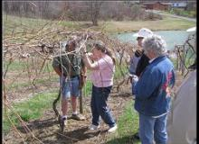 Grapevine pruning at MountainRose Vineyards